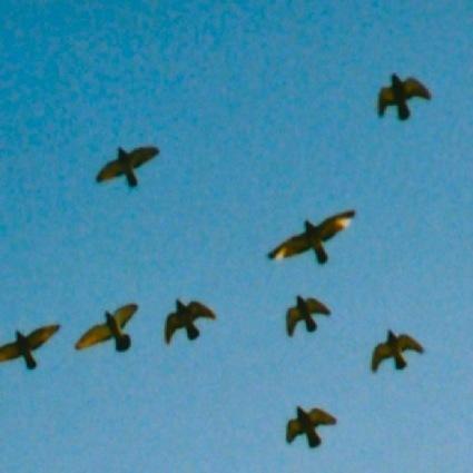 ハトの大群-JPG2.jpg