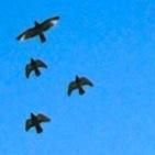 ハトの大群re-JPG のコピー.jpg